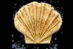 貝殻節.png